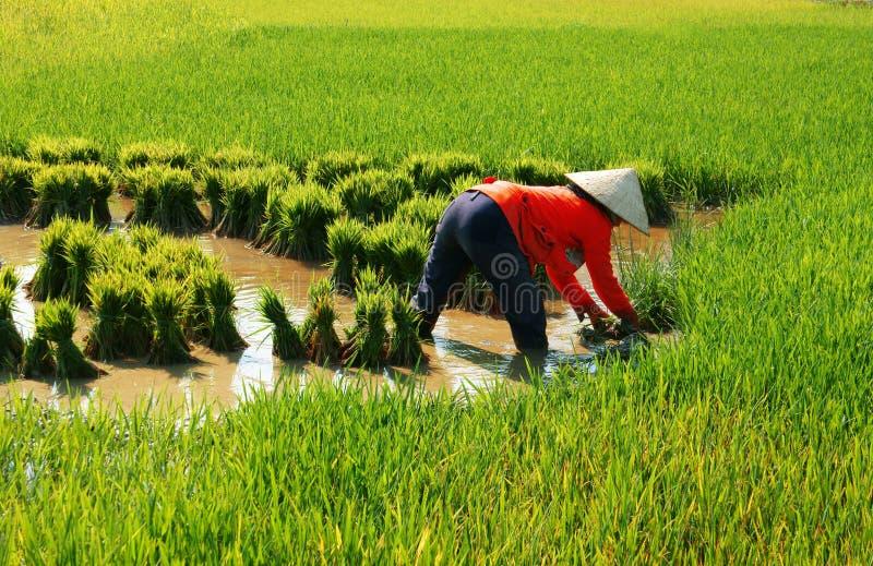 Trabalho vietnamiano do fazendeiro no campo do arroz foto de stock