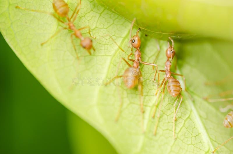 Trabalhos De Equipa Vermelhos Das Formigas Foto de Stock Royalty Free