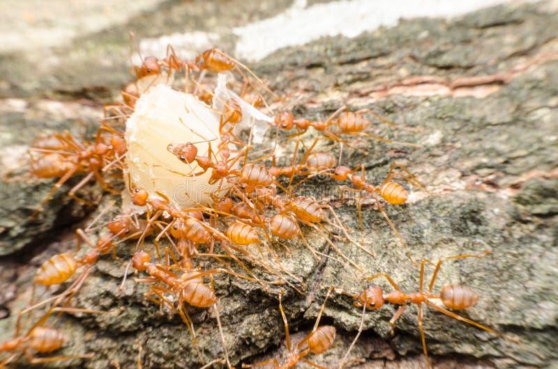 Trabalhos de equipa vermelhos das formigas fotografia de stock