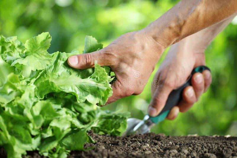 Trabalhos de mão o solo com ferramenta, planta verde da alface no vegetal imagens de stock