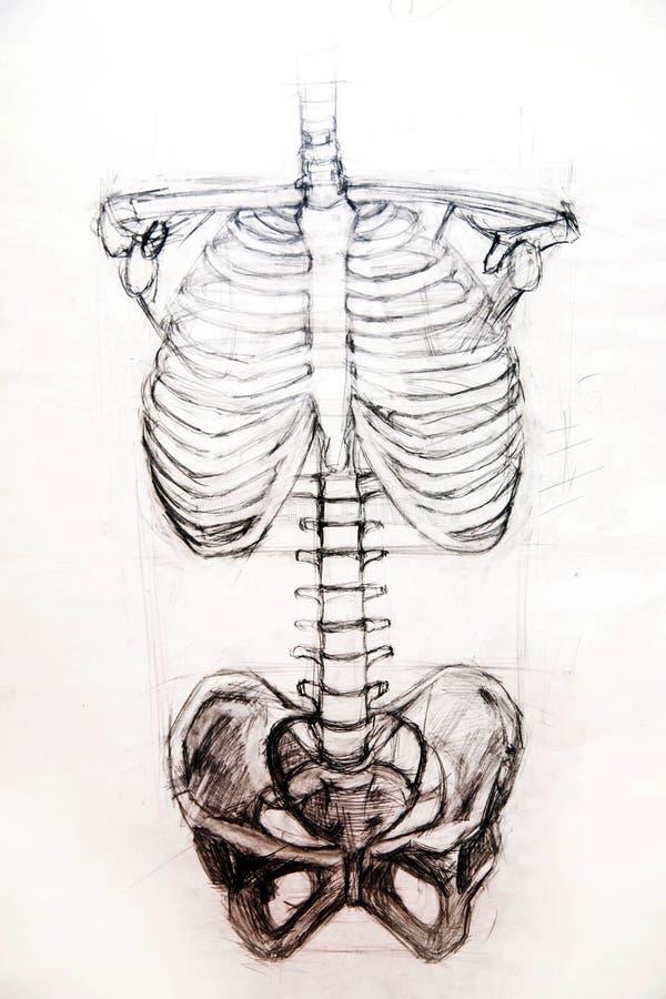 Trabalhos do estúdio de Anatomy.Drawing ilustração royalty free