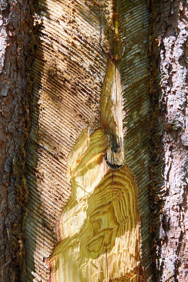Tracce e tacche sul tronco dell'albero dopo la raccolta della resina del pino fotografia stock