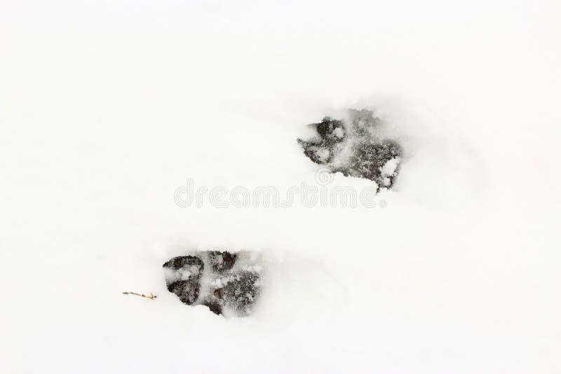 Traccia del cane sulla neve Impronta della zampa animale fotografia stock