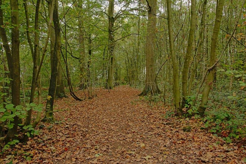 Traccia di escursione coperta di foglie secche attraverso una foresta verde fertile nella campagna fiamminga fotografie stock libere da diritti