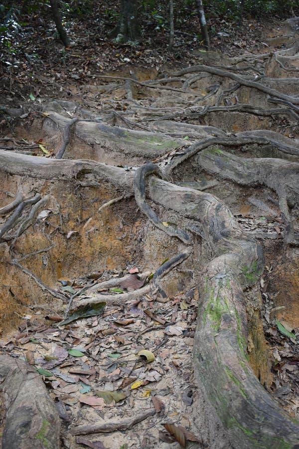 Traccia di escursione della giungla con molte grandi radici marroni dell'albero alla cresta del drago nel NAK di Khao Ngon in Kra fotografia stock libera da diritti