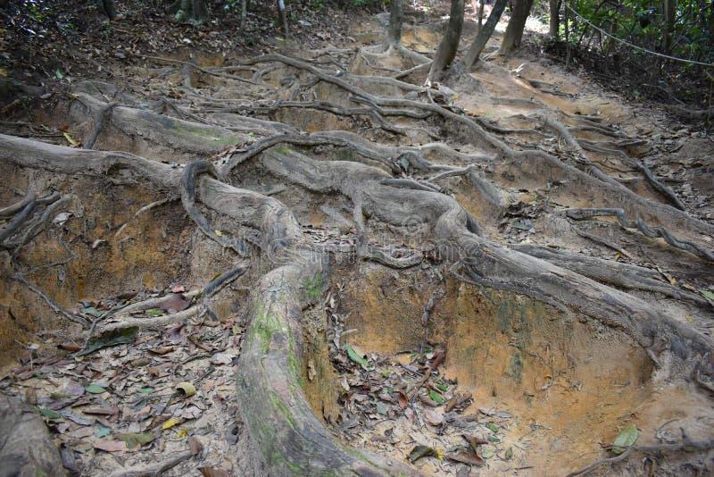 Traccia di escursione della giungla con molte radici marroni dell'albero alla cresta del drago nel NAK di Khao Ngon in Krabi, Tai immagine stock