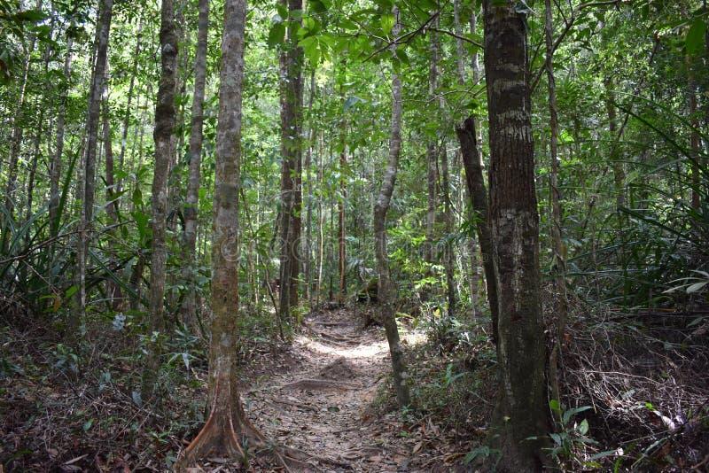 Traccia di escursione della giungla con molte radici marroni dell'albero alla cresta del drago nel NAK di Khao Ngon in Krabi, Tai fotografia stock libera da diritti