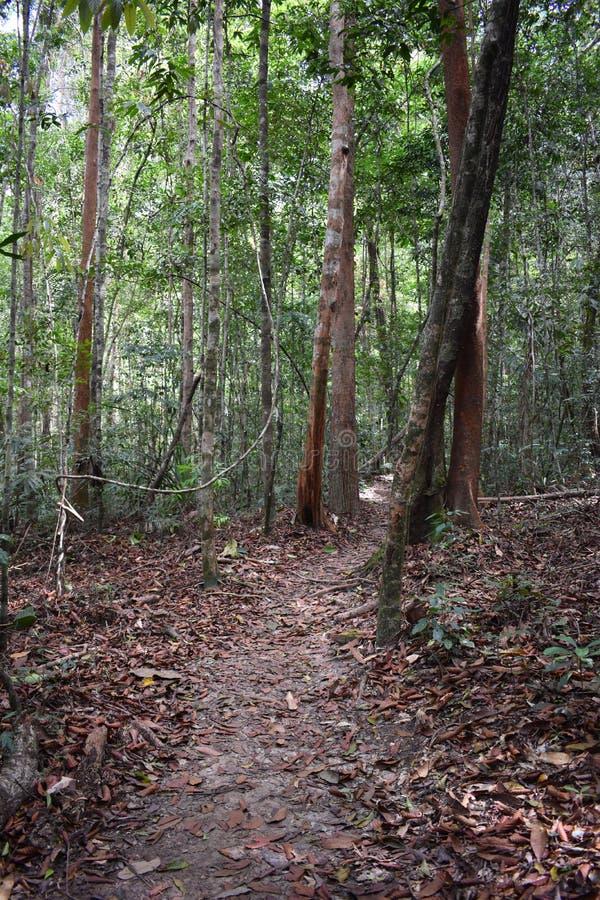 Traccia di escursione della giungla con molte radici marroni dell'albero alla cresta del drago nel NAK di Khao Ngon in Krabi, Tai immagini stock