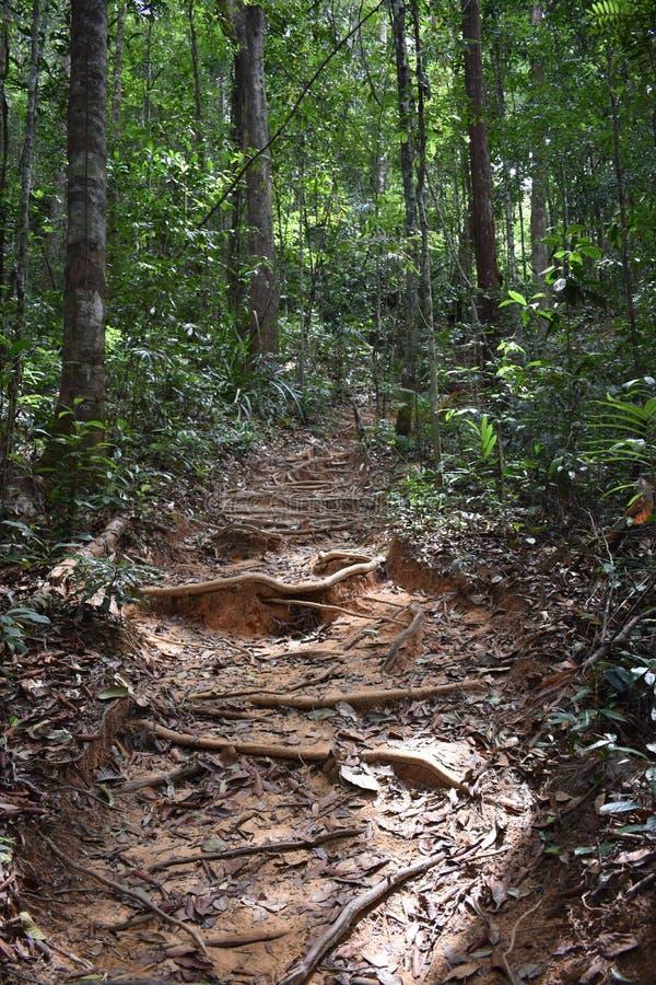 Traccia di escursione della giungla con molte radici marroni dell'albero alla cresta del drago nel NAK di Khao Ngon in Krabi, Tai fotografie stock libere da diritti