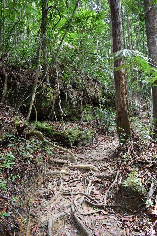 Traccia di escursione della giungla con molte radici marroni dell'albero alla cresta del drago nel NAK di Khao Ngon in Krabi, Tai immagini stock libere da diritti