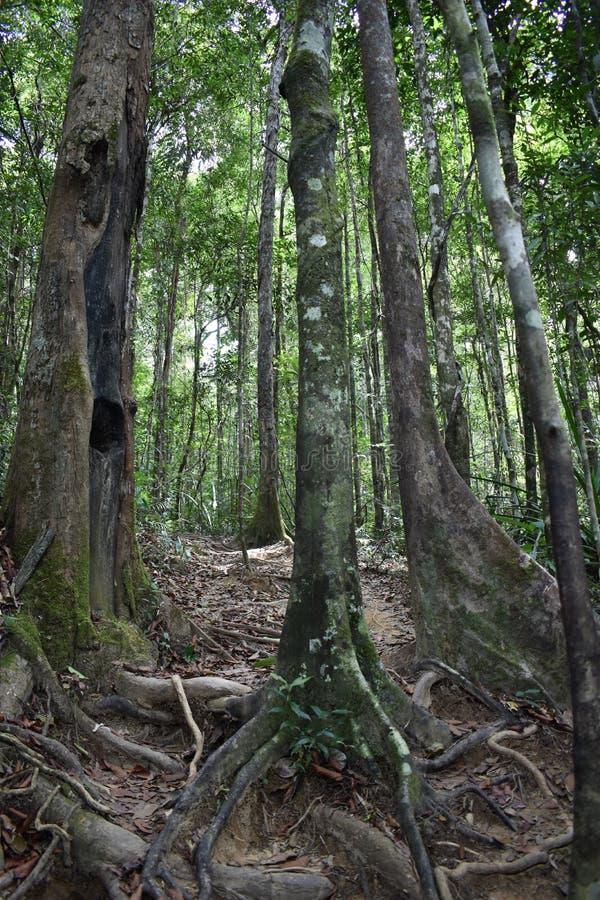 Traccia di escursione della giungla con molte radici marroni dell'albero alla cresta del drago nel NAK di Khao Ngon in Krabi, Tai fotografia stock