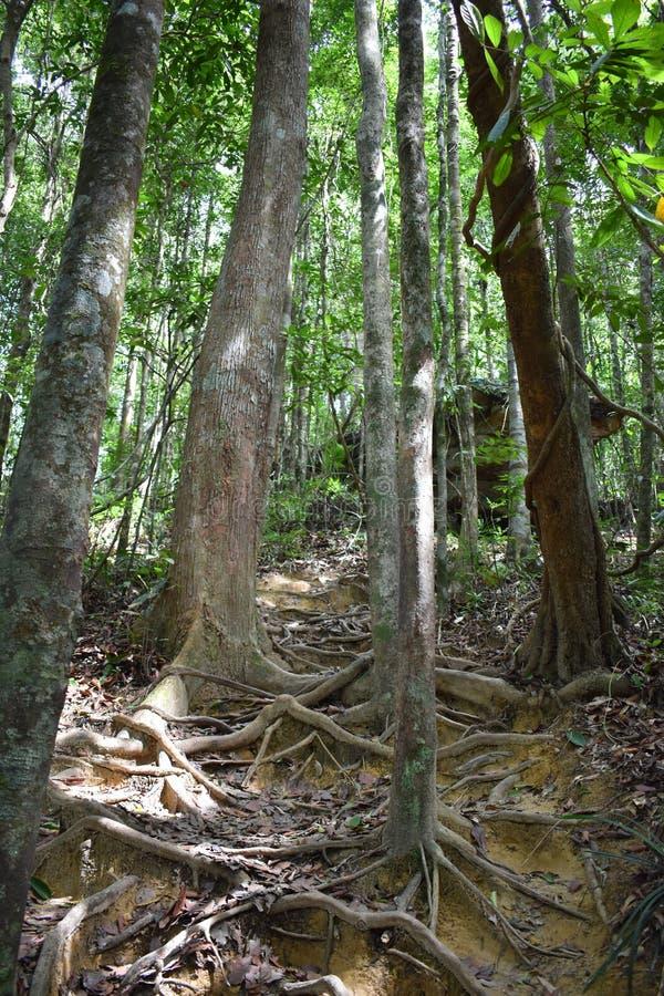 Traccia di escursione della giungla con molte radici marroni dell'albero alla cresta del drago nel NAK di Khao Ngon in Krabi, Tai immagine stock libera da diritti