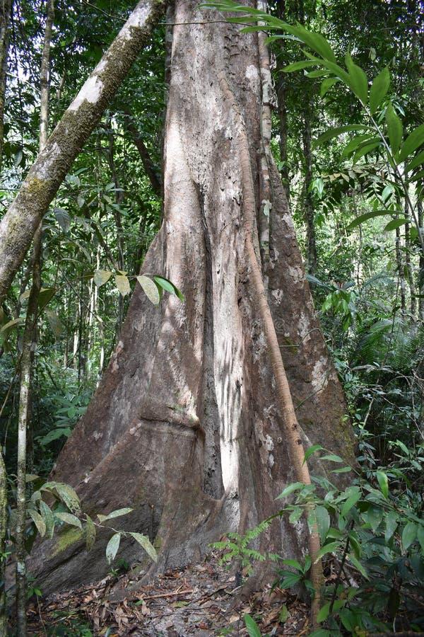 Traccia di escursione della giungla con un grande albero marrone alla cresta del drago nel NAK di Khao Ngon in Krabi, Tailandia,  fotografia stock