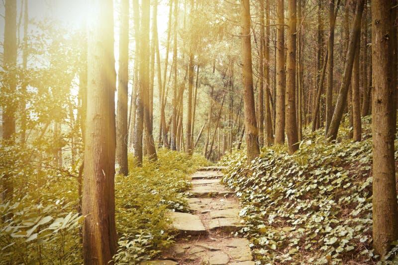Traccia di montagna nella foresta del pino immagine stock libera da diritti