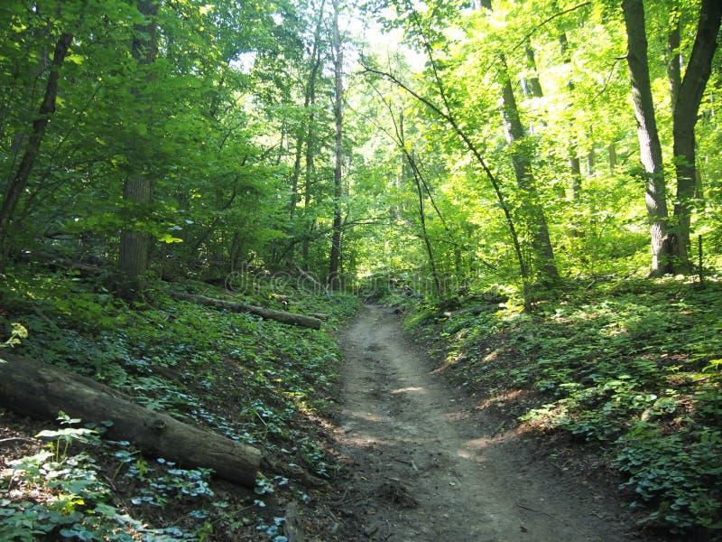 Traccia nella passeggiata di estate della foresta decidua wildlife immagini stock libere da diritti