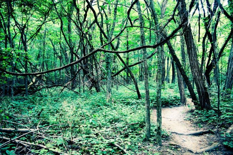 Traccia soleggiata della foresta che conduce via fotografia stock