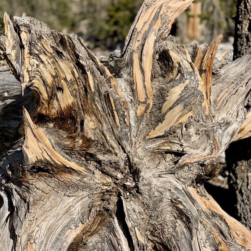 Traccia superiore del ciclo di Bristlecone, Mt Charleston, Nevada fotografia stock