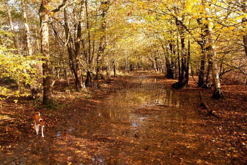 Tracciato di Woodland sulle acque alluvionali autunnali nel Sussex orientale fotografie stock