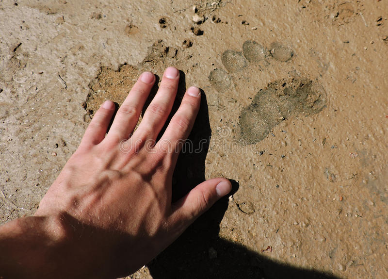 A trace of a brown bear. royalty free stock images
