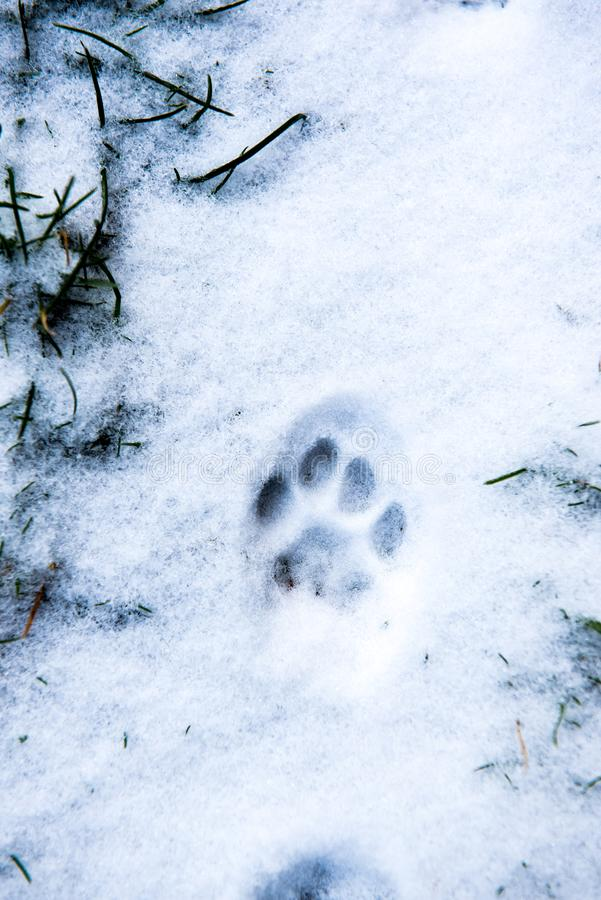 Trace of cat`s feet in the snow. Traces of cat`s feet in the snow stock photos