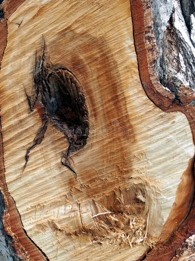 The trace from a cut of a large branch on a trunk of a birch, annual rings. Texture and structure of wood are visible royalty free stock images