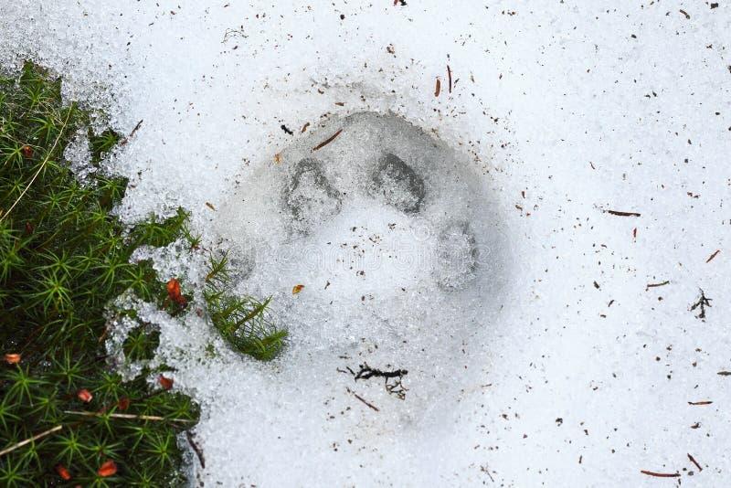 Trace de lynx de Lynx sur la neige image libre de droits