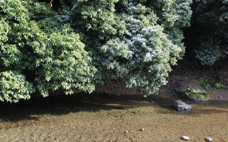 Trace de neige sur des arbres de camphre dans une région chaude de climat photo stock