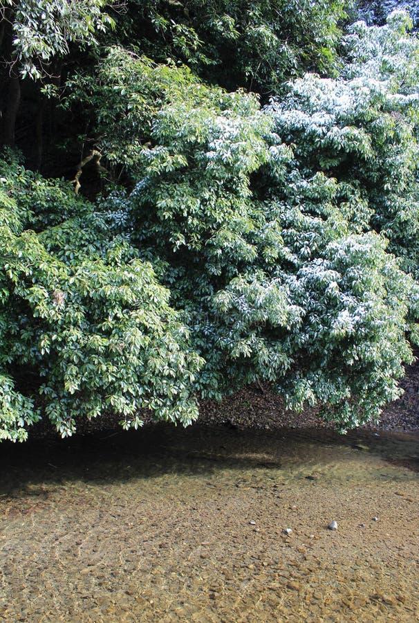 Trace de neige sur des arbres de camphre dans une région chaude de climat photos libres de droits