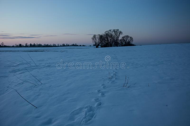 Traces of animals in the snow and a group of trees on the horizon. Winter evening view stock photography