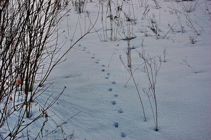Traces of animals in snow. Hare, wolf, fox, dog, cat paws footprints in the forest. Concept of hunting and shooting wild animals. Migration and mating time royalty free stock image