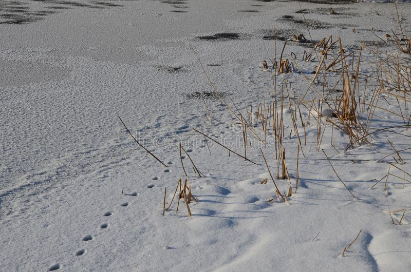 Traces of animals in snow. Hare, wolf, fox, dog, cat paws footprints in the forest. Concept of hunting and shooting wild animals. Migration and mating time stock photo