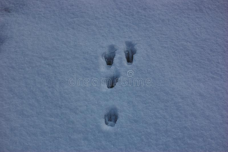 Traces of animals in snow. Hare, wolf, fox, dog, cat paws footprints in the forest. Concept of hunting and shooting wild animals. Migration and mating time stock photography