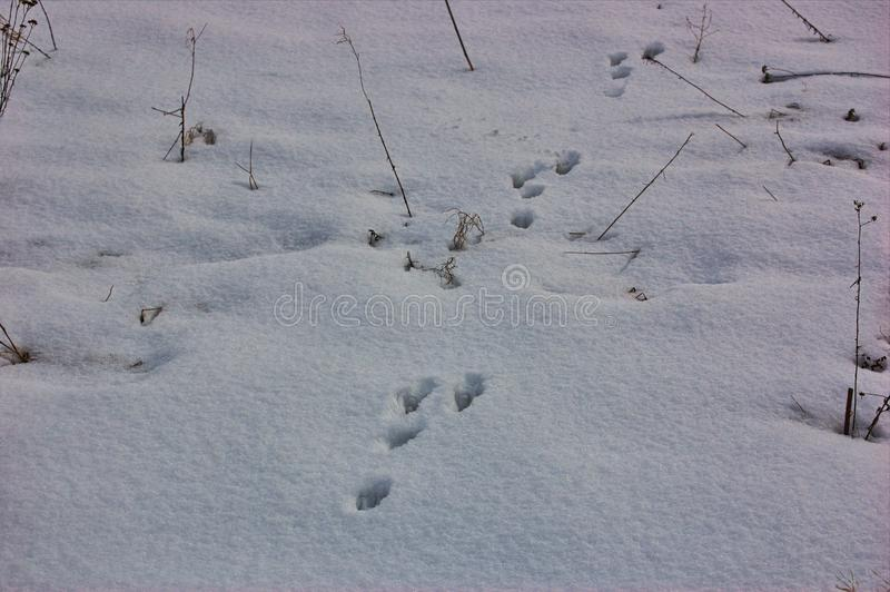 Traces of animals in snow. Hare, wolf, fox, dog, cat paws footprints in the forest. Concept of hunting and shooting wild animals. Migration and mating time royalty free stock photography