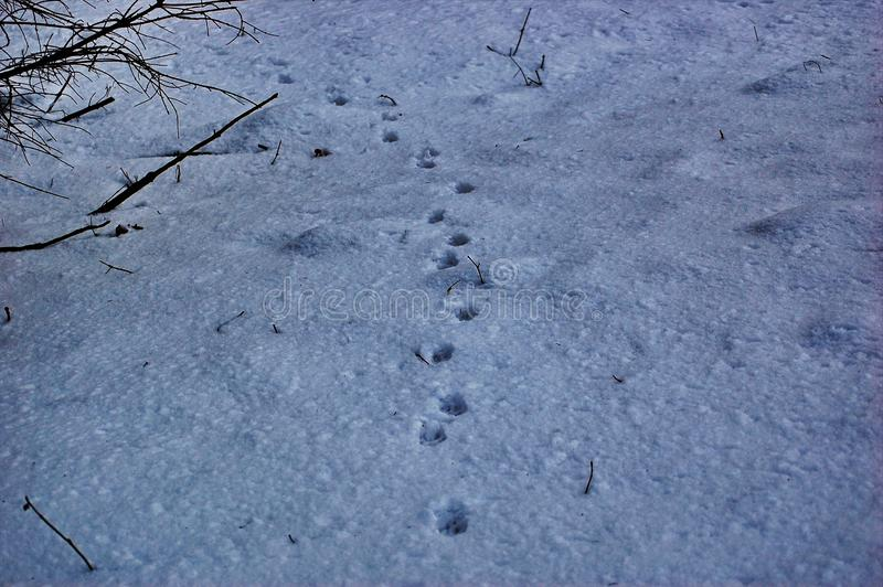 Traces of animals in snow. Hare, wolf, fox, dog, cat paws footprints in the forest. Concept of hunting and shooting wild animals. Migration and mating time stock image