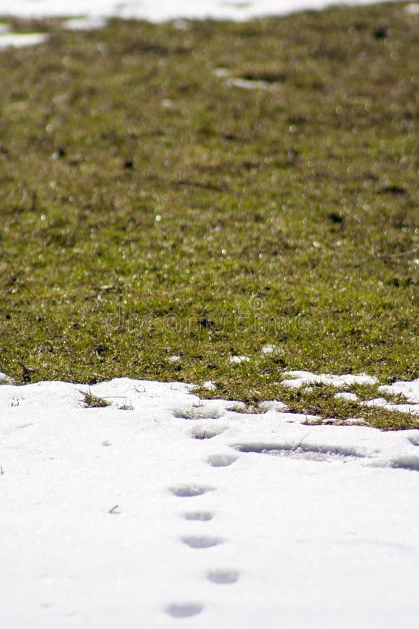 Traces of cat and dog on the snow. Green grass stock images