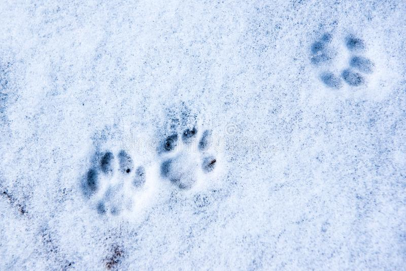 Trace of cat`s feet in the snow. Traces of cat`s feet in the snow royalty free stock photos