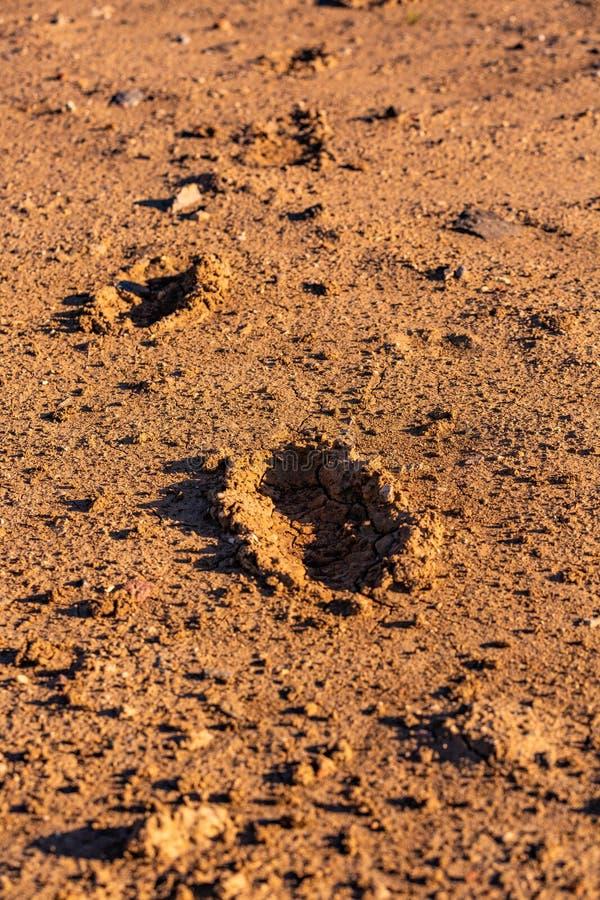 Traces d'humain sur la terre sèche et criquée photo stock