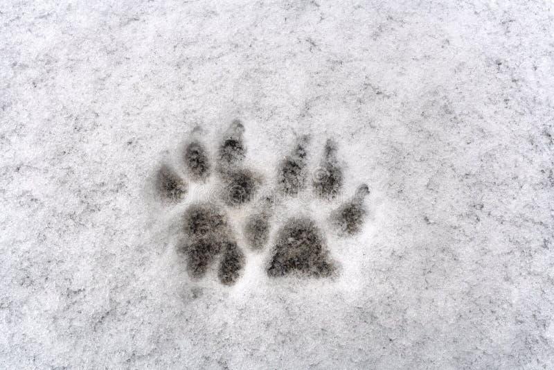 Traces de patte de deux chiens sur la neige fraîche de fond blanc photographie stock libre de droits