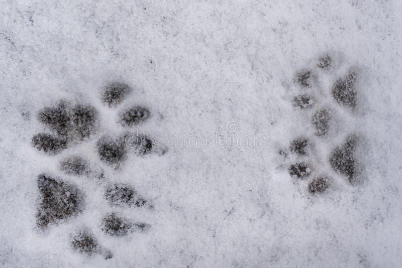 Traces de quatre pattes de chien sur le fond frais blanc de neige photo libre de droits