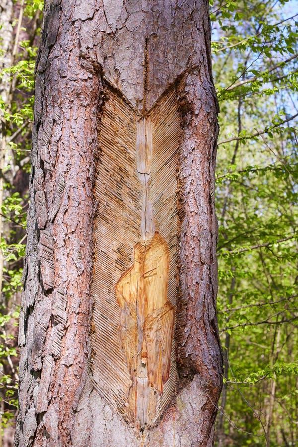 Traces et entailles sur le tronc de l'arbre après la collection de résine de pin photos libres de droits