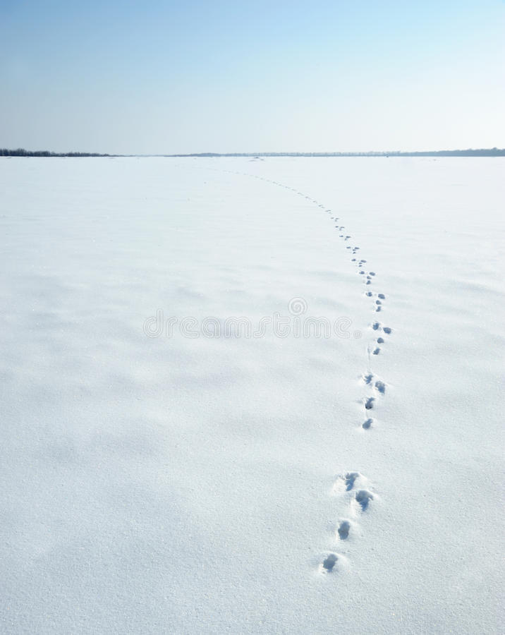 Traces of a hare on a snow. A print of paws on a winter floor stock images