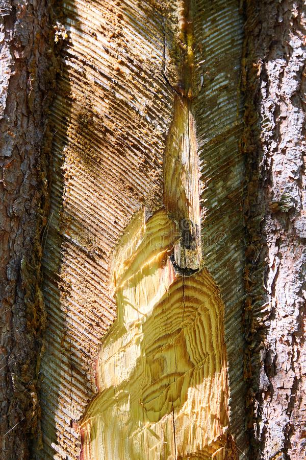 Traces and notches on the trunk of the tree after the collection of pine resin. stock photo