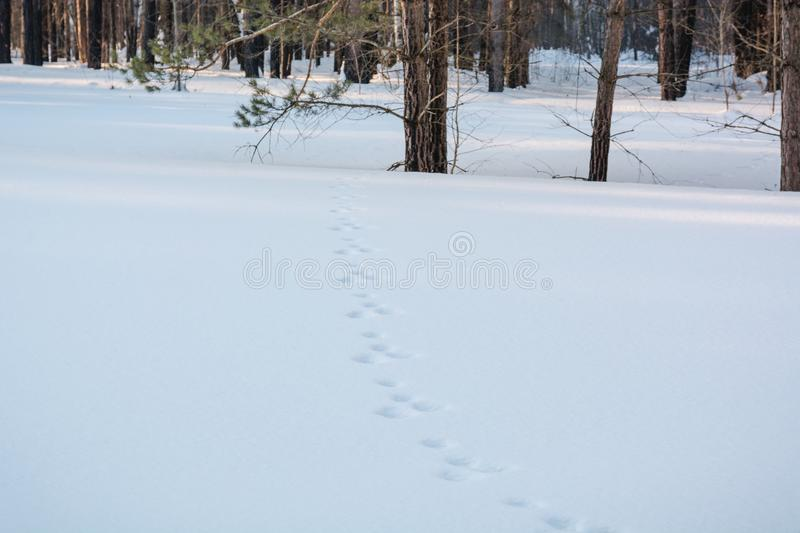 Traces on snow. In the wood traces on snow of animals. royalty free stock photos