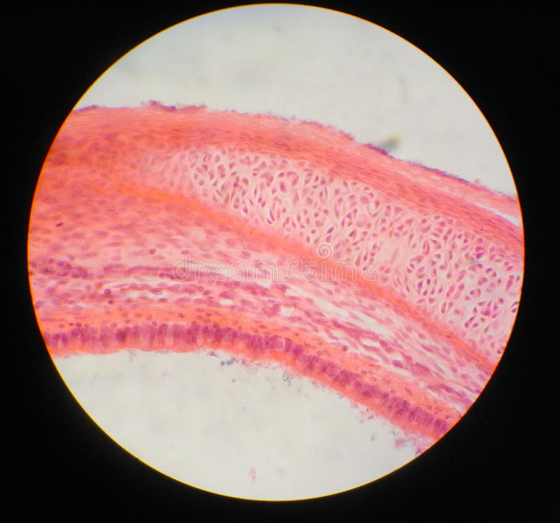 Download Trachea stock image. Image of microscope, education, cell - 26208359
