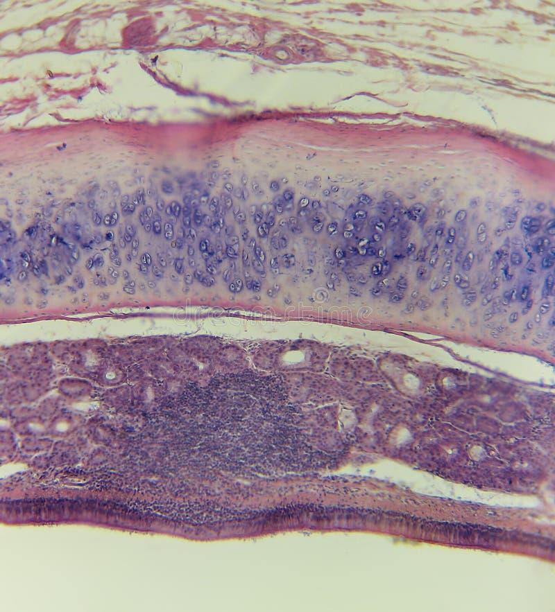Trachea, mammifera, traversa di alto potere - sezioni _C3480 fotografie stock