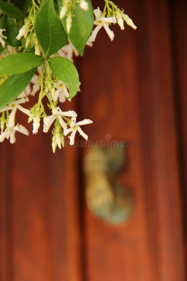 Trachelospermumjasminoides eller stjärnajasmin royaltyfri bild