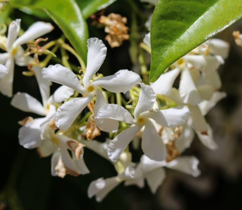 Trachelospermumjasminoides, gemensamma namn inkluderar förbundsmedlemjasmin, den sydliga jasmin, stjärnajasmin, förbundsmedlemjes royaltyfri bild