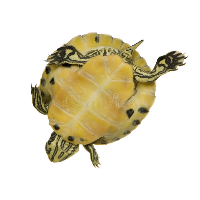 trachemys żółwia zdjęcie royalty free