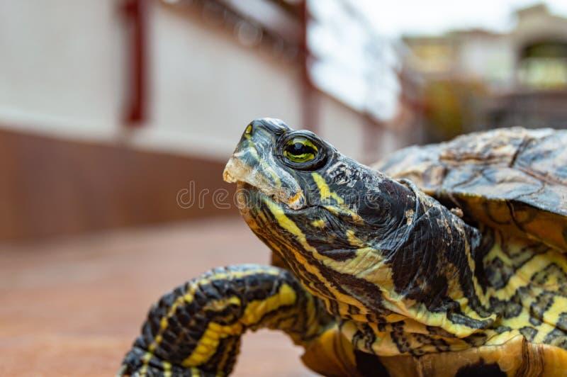 Trachemysscripta, de schildpaddier van Florida royalty-vrije stock foto's