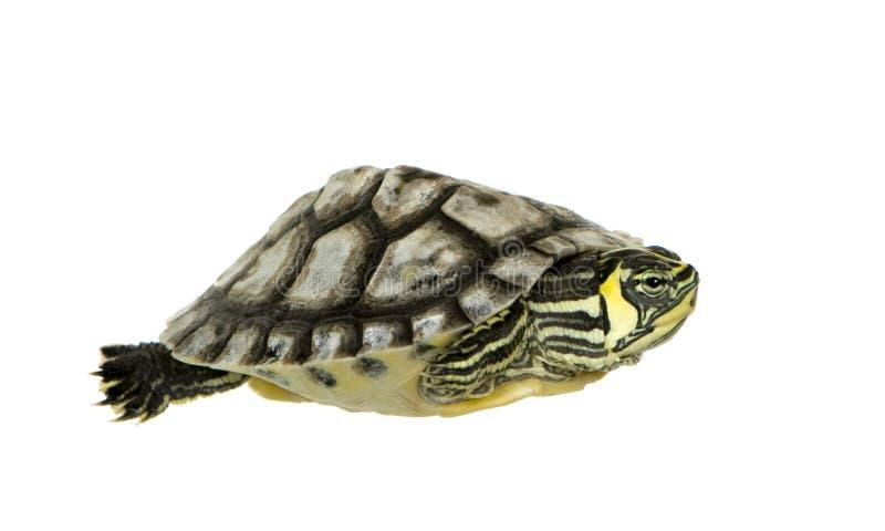 trachemyssköldpadda arkivbilder